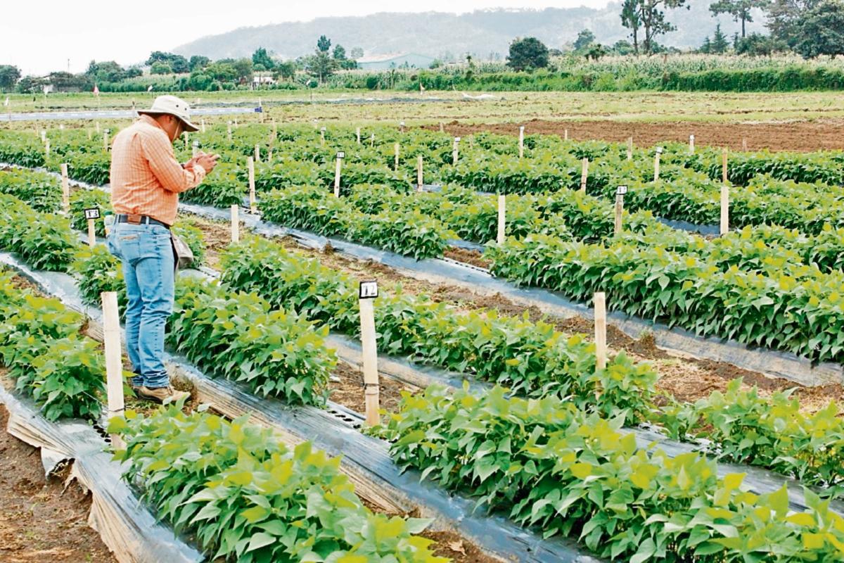 Uno de los investigadores del Icta toma fotografías a cultivos en el centro de investigación local para vegetales, en Chimaltenango.