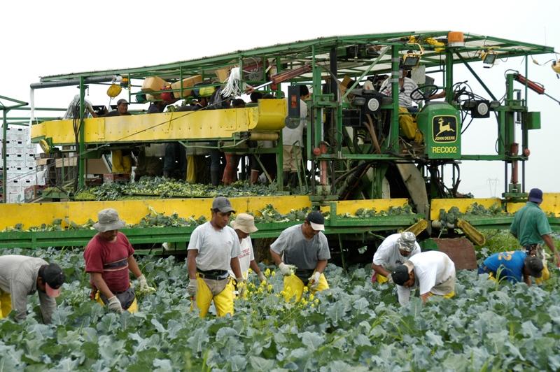 Agricultores guatemaltecos trabajan en una finca de Quebec, donde se cultiva coliflor. Son parte del Programa de Trabajadores Extranjeros Temporales de Canadá.(Foto Prensa Libre)