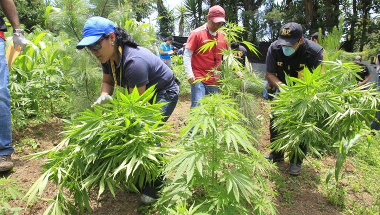 Policías destruyen una plantación de marihuana en el preventivo de la zona 18. Una iniciativa busca su legalización. (Foto Prensa Libre: Hemeroteca PL)