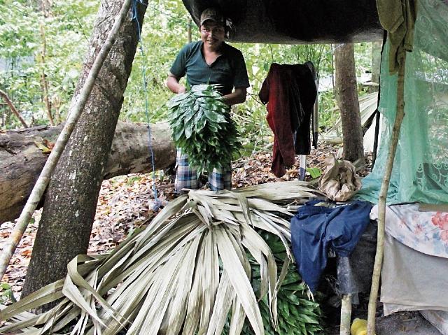 Petén es el mayor productor de hoja de xate, que se exporta a Europa y Estados Unidos. (Foto Prensa Libre: Rigoberto Escobar)