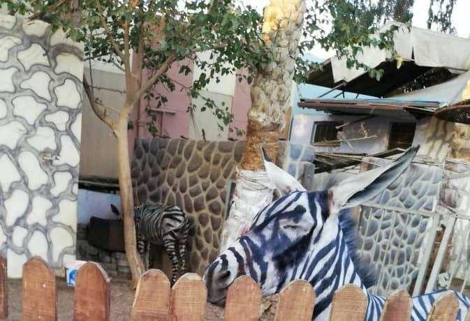 Autoridades del zoológico, ubicado en El Cairo, Egipto, dieron detalles de cómo ocurrió el malentendido.  (Foto Prensa Libre: Facebook Mahmoud A. Sarhan)