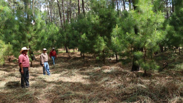 Unos ocho mil árboles que fueron donados han sido plantados en distintas áreas del bosque comunal de El Tejar, afectado por gorgojo. (Foto Prensa Libre: Cortesía)