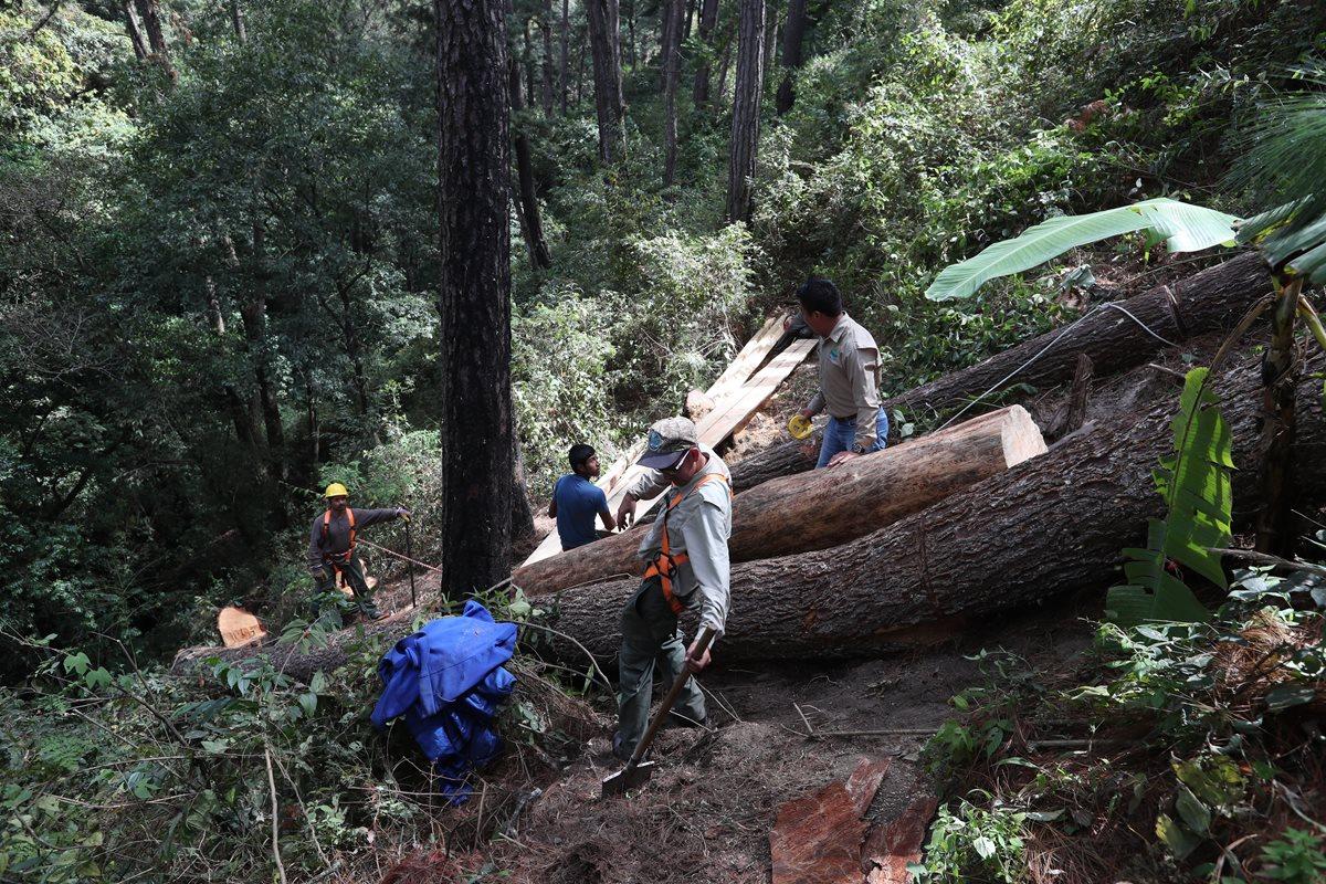 Trabajadores, autorizados por el INAB, hacen el saneamiento forestal de la zona. Fundaeco pagó unos Q3 mil 500 por el corte de los árboles, sin tomar en cuenta los jornales de los empleados del parque. (Foto Prensa Libre: Óscar Felipe Quisque)