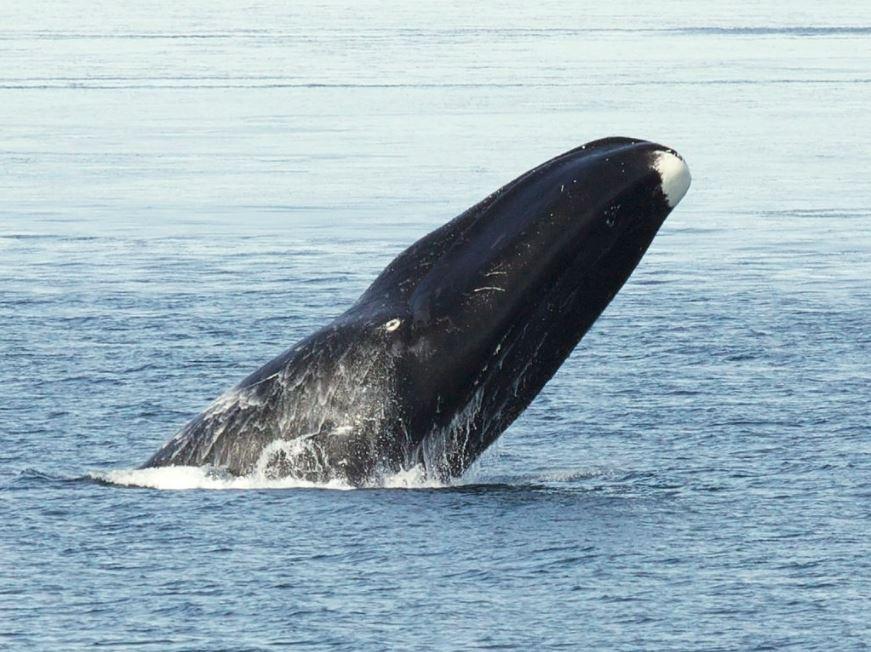 Una ballena boreal o ballena de Groenlandia. (Foto Prensa Libre: Bering Land Bridge National Preserve).
