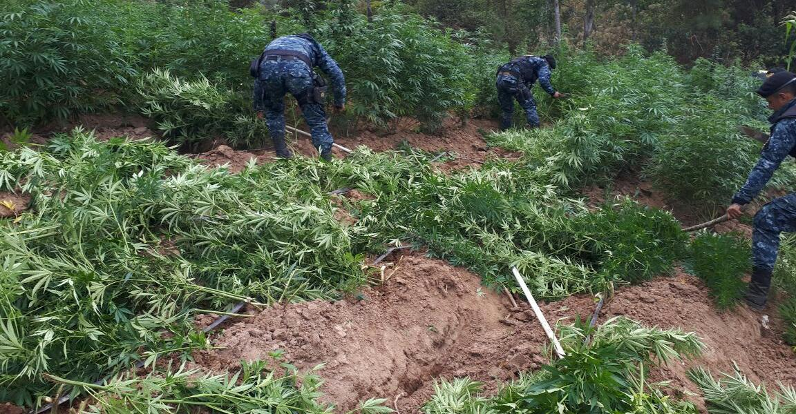 Agentes antinarcóticos participan en la erradicación de marihuana en Totonicapán. (Foto Prensa Libre: Cortesía PNC)