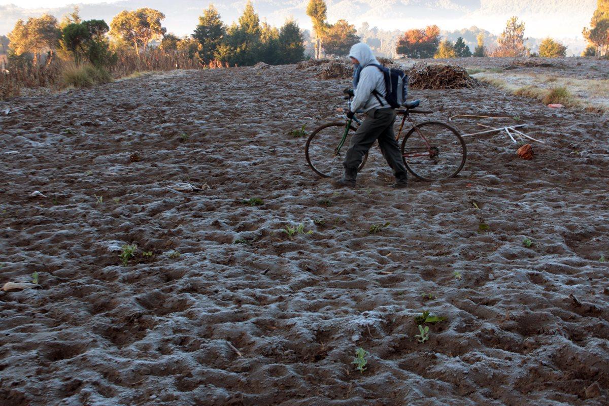 Un vecino de Cajolá, Quetzaltenango, camina sobre cultivos de maíz que fueron afectados por las bajas temperaturas. (Foto Prensa Libre: Carlos Ventura)