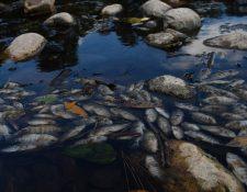Peces muertos flotan en las aguas contaminadas del río Lempa en el pueblo de Piñuelas. (Foto Prensa Libre: AFP)