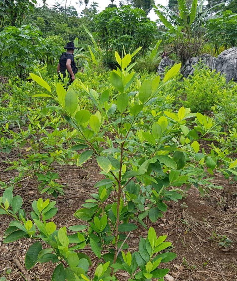 Alrededor de 75 mil arbustos de hoja de coca fueron localizados por agentes de la PNC en Cobán, Alta Verapaz. (Foto Prensa Libre: PNC)