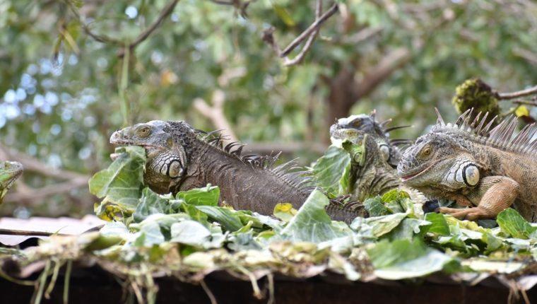 Algunas de las iguanas que viven en la vivienda de Gustavo Fajardo, en Zacapa. (Foto Prensa Libre: Mario Morales).