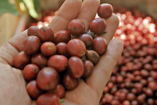 Guatemala no se logra recuperar en la producción de café a los niveles de antes del 2012. Factores como la roya, la necesidad de renovar las plantaciones o la falta de apoyo financiero han afectado al sector. (Foto: Prensa Libre: Hemeroteca PL)