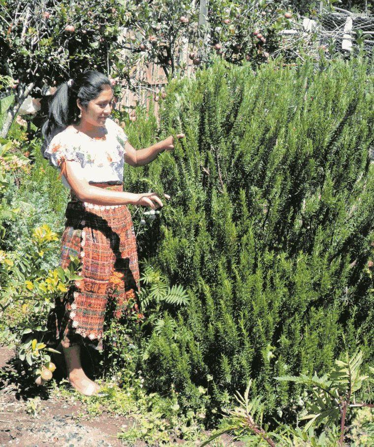 El cultivo de plantas medicinales es común en la provincia. (Foto Hemeroteca PL)