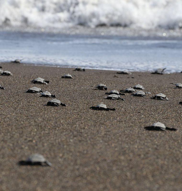 Tortugas recién liberadas se apresuran para ingresar al mar en Taxisco, Santa Rosa. (Foto Prensa Libre: Enrique Paredes).