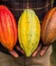El cacao fino de aroma puede llegar a valer tres veces el precio normal del cacao convencional. (Foto Prensa Libre: AFP)