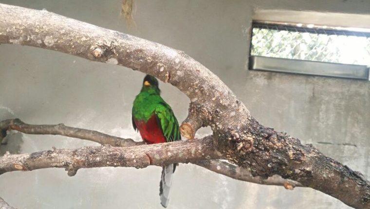 El quetzal estuvo en resguardo del zoológico La Aurora desde que fue rescatado el 4 de enero último. (Foto Prensa Libre: Conap)