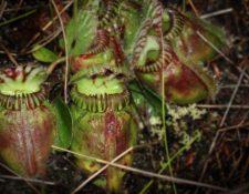 Pese a haberse separado hace millones de años y antes de ser carnívoras, las tres especies desarrollaron los mismos mecanismos para digerir insectos. MITSUYASU HASEBE