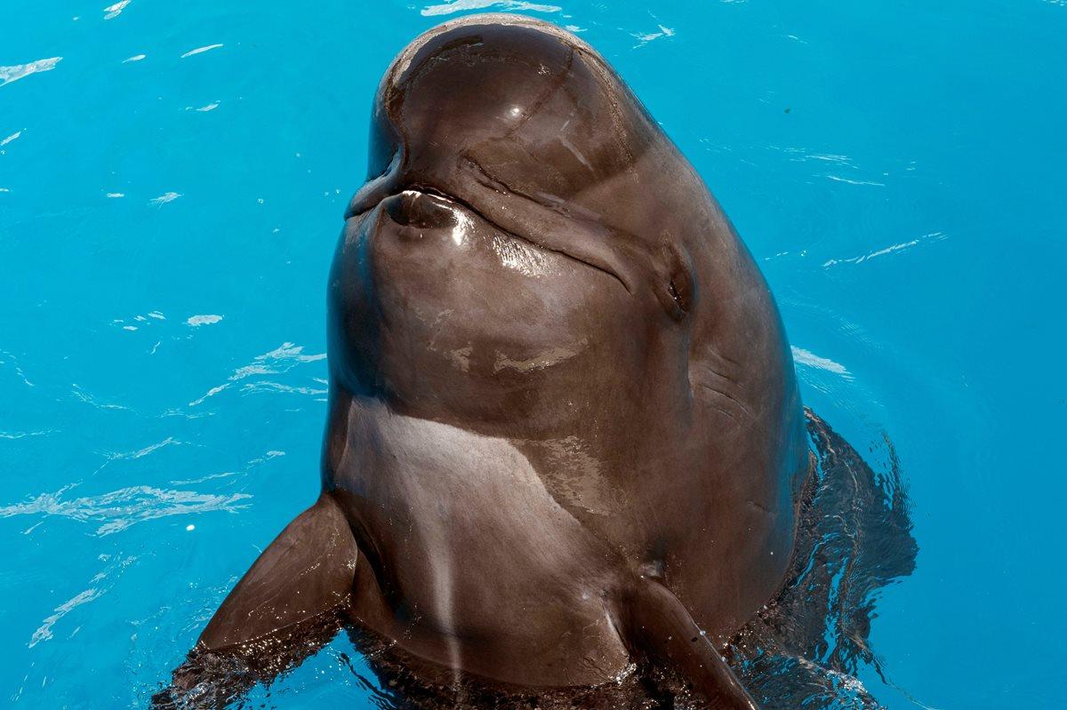 Muere ballena piloto de espectáculo de SeaWorld