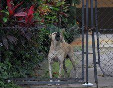 Solo las mascotas se encuentran en las viviendas de las familias que fueron evacuadas por la erupción del Volcán de Fuego en la aldea El Rodeo. (Foto Prensa Libre: Enrique Paredes)