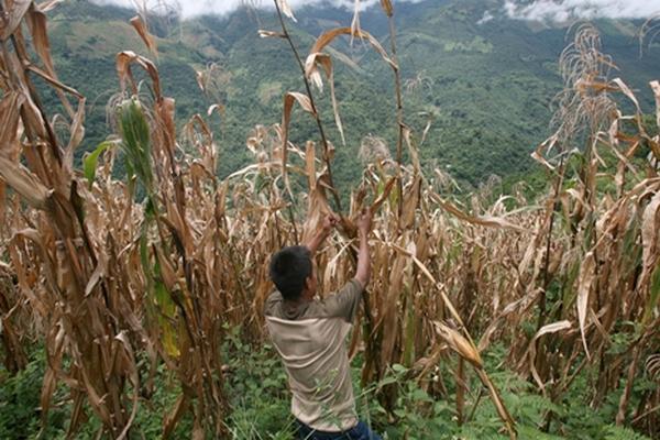 La sequía en la región centroamericana aumentó los riesgos de inseguridad alimentaria. (Foto Prensa Libre: Archivo.)