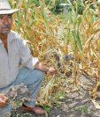 Niños buscan algunas mazorcas en una plantación de maíz, en  Huehuetenango, dañada por la  sequía.