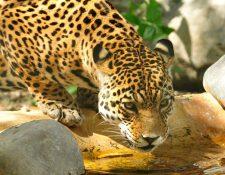 Jaguar (Panthera onca). (Foto Prensa Libre: Julie Larsen Maher/WCS).