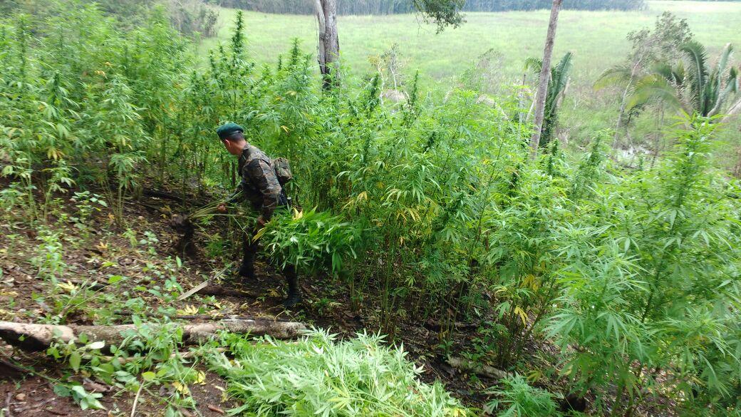 Erradican plantas de marihuana en Petén