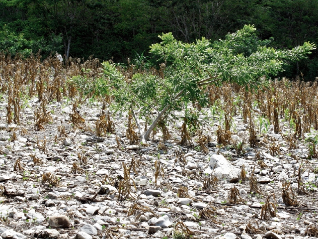 Sequía agrava el hambre en el Corredor Seco