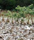 El estado en el que se encuentran los sembradíos de maíz, en Santa Rita, Guastatoya, El Progreso, evidencia la falta de lluvia.