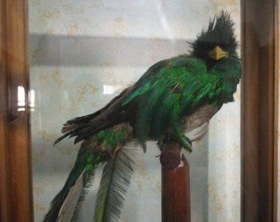 Un quetzal disecado es una de las piezas que se exhibe en el museo de Xela. (Foto Prensa Libre: Fred Rivera)