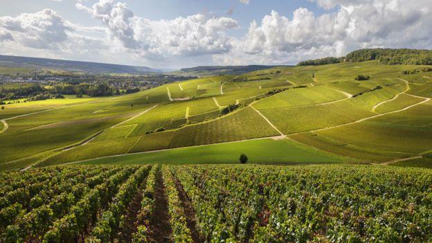 Los viñedos en la región de Champagne en Francia son los únicos que reciben la clasificación de champán. (GETTY IMAGES).