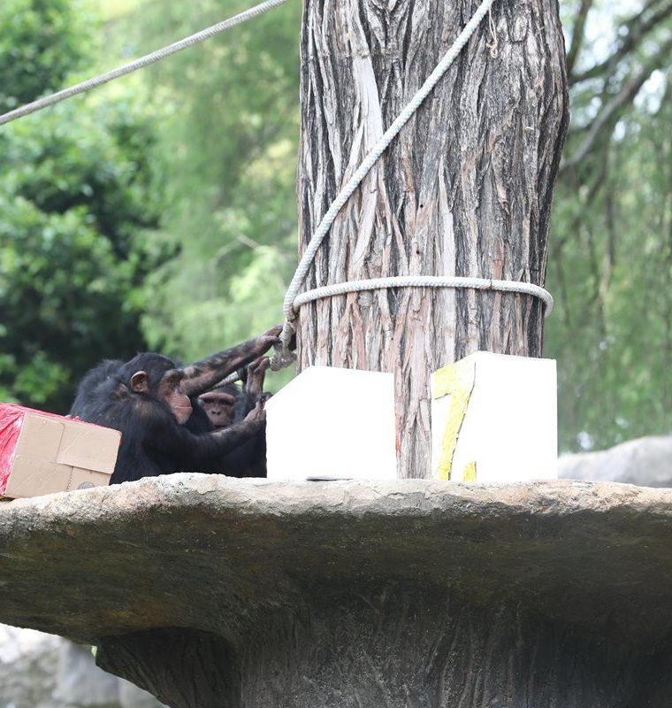 Los seis chimpancés disfrutaron de un día diferente en el Zoológico La Aurora. (Foto Prensa Libre: Óscar Felipe Quisque)