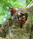 La guacamaya roja es conservada por medio de una iniciativa de WCS. En el país habrían unas 300. (Foto Prensa Libre: Hemeroteca PL)