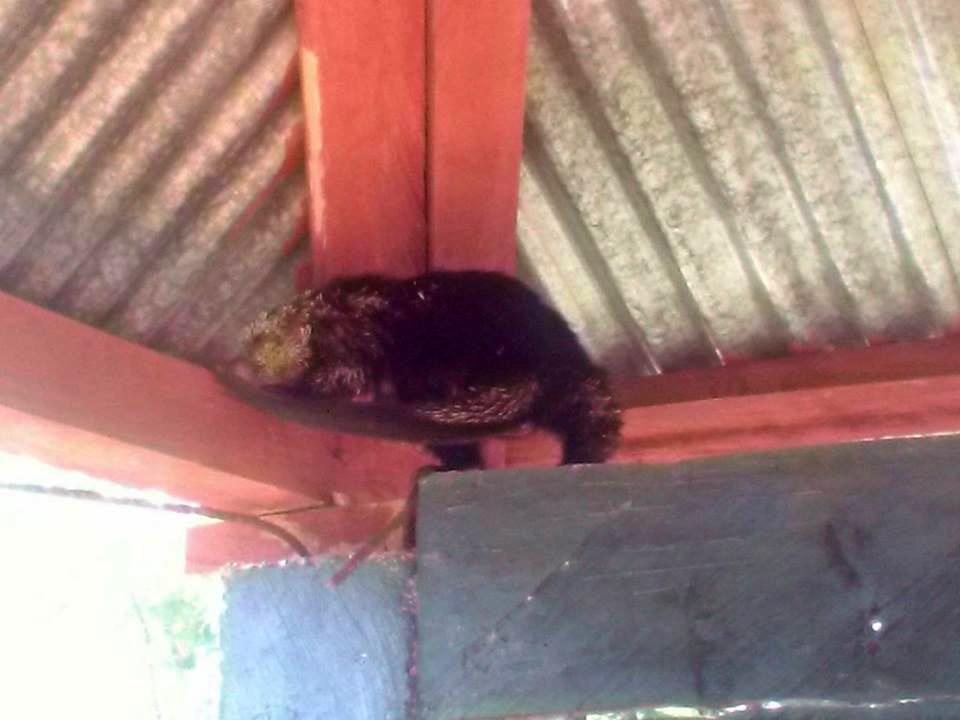En la Escuela de Secocpur, Cobán, Alta Verapaz, fue localizado un puerco espín que fue atrapado y luego trasladado a una zona boscosa para que regresara a su hábitat. (Foto Prensa Libre: Eduardo Sam Chun)