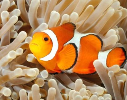 El pez payaso vive en aguas tropicales. GETTY IMAGES