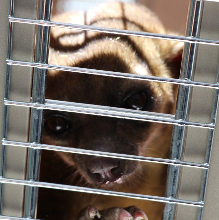 El micoléon fue entregado al Conap y posteriormente devuelto al zoológico. (Foto Prensa Libre: Bomberos Municipales)