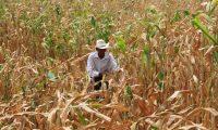 Las  cosechas  de milpa de maíz se han perdido, por lo  menos el 50% de las cosechas sembradas a lo largo del corredor seco se han perdido,  debido a la canícula la cual la sequía a dejado grandes perdidas en la agricultura  del pais; Por ejemplo  el cambio climatico a hecho que  en otras  comunidades  lluvia, han provocado inundaciones  como Panzos, Alta Verapaz, lo cual contribuyó que los ríos se desbordaranEn la imagen En Chiquimula, José Luis Vasquez, perdió la mayor parte de sus cultivos debido a la sequía.Foto: Edwin Bercián