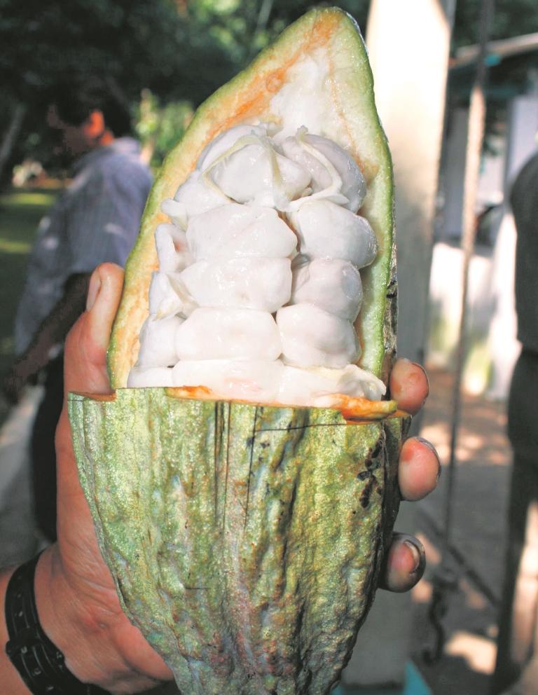"""Colombianos del """"triangulo del mal"""" dejaron de cultivar coca por el cacao"""