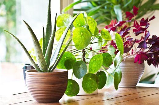 No tienen por qué ser plantas caras. Mejor aún, pídeles esquejes a tus amigos (Foto Prensa Libre: GETTY IMAGES).