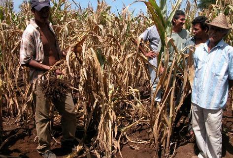 Las cosechas se han reducido principalmente en áreas del corredor seco del país. (fotografía Prensa Libre. archivo)