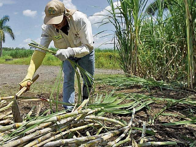 Materia prima:En el ingenio Tululá, en Retalhuleu, se siembra, cosecha y procesa la caña de azúcar para extraer miel virgen y la melaza. (Foto Prensa Libre: Juan Carlos Rivera)