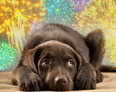 El oído de nuestras mascotas es sensible a los fuegos artificiales, por lo que debemos tranquilizarlos para evitar cambios en su conducta. (Foto Prensa Libre, curiosity.com)