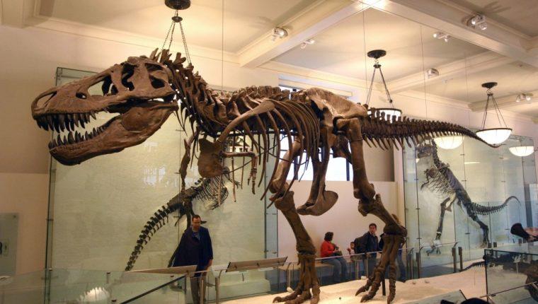 El tiranosaurio Rex pertenecería a un nuevo árbol genealógico, según estudio. (Foto Prensa Libre: Blogodisea)
