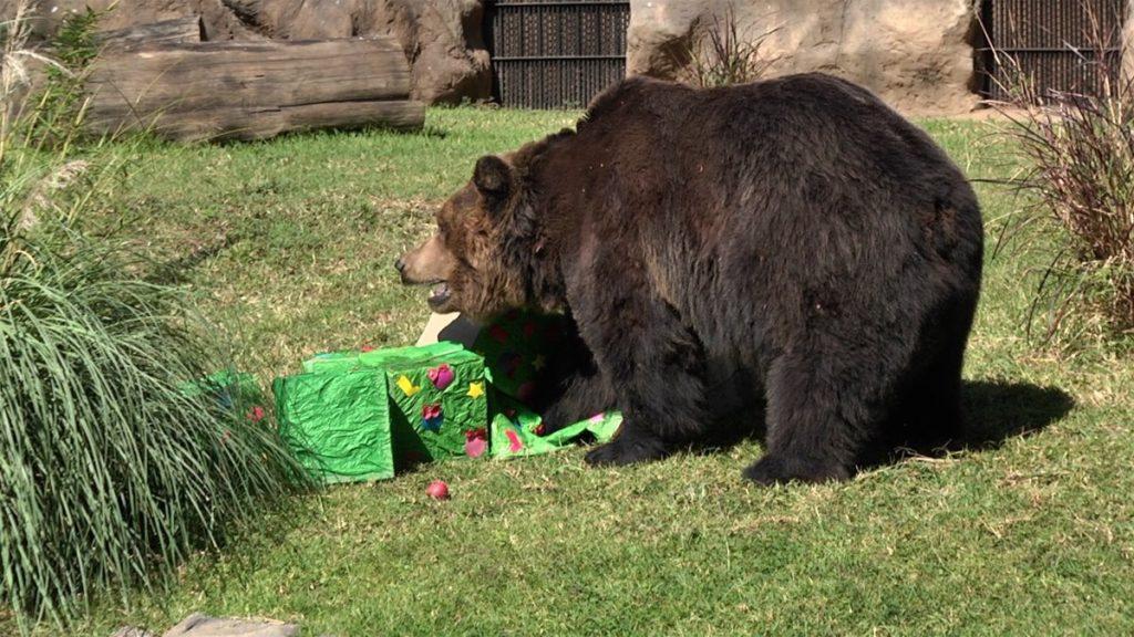Un oso disfruta del regalo que fue llevado a su recinto.