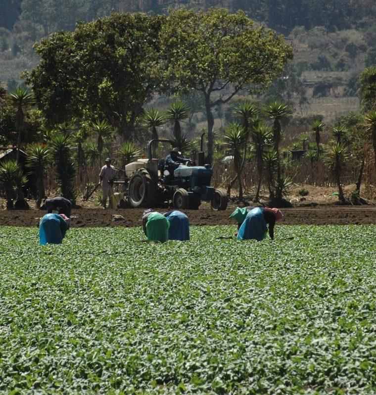 Un alto porcentaje de la población guatemalteca depende de la agricultura. (Foto Prensa Libre: César Pérez)