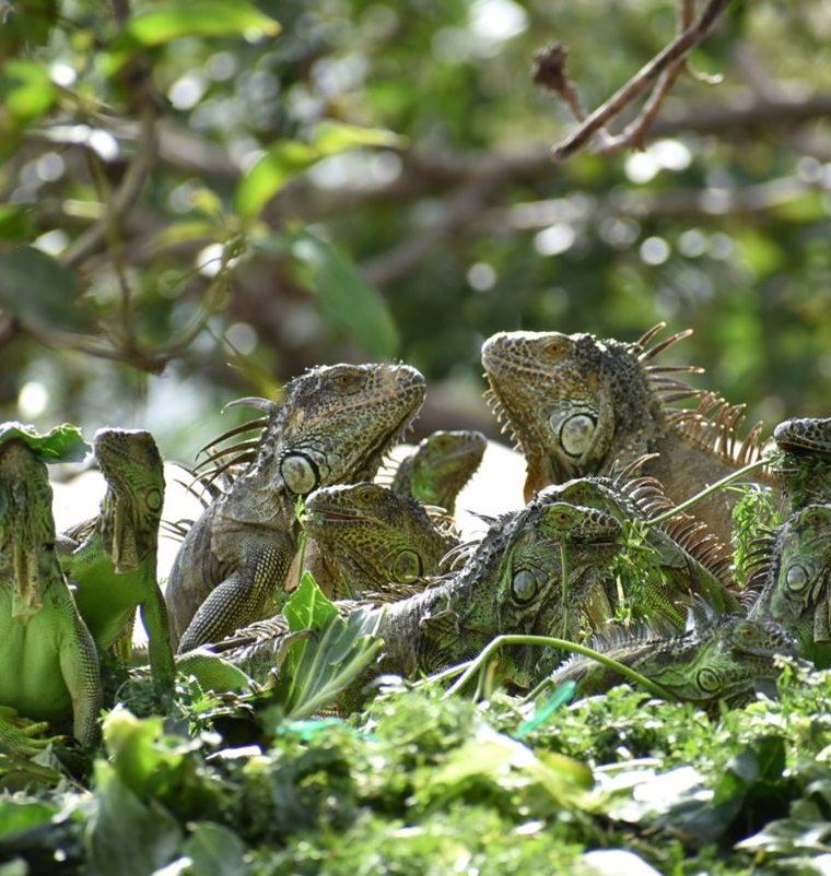 Las iguanas llegan a la vivienda para alimentarse. (Foto Prensa Libre: Mario Morales).