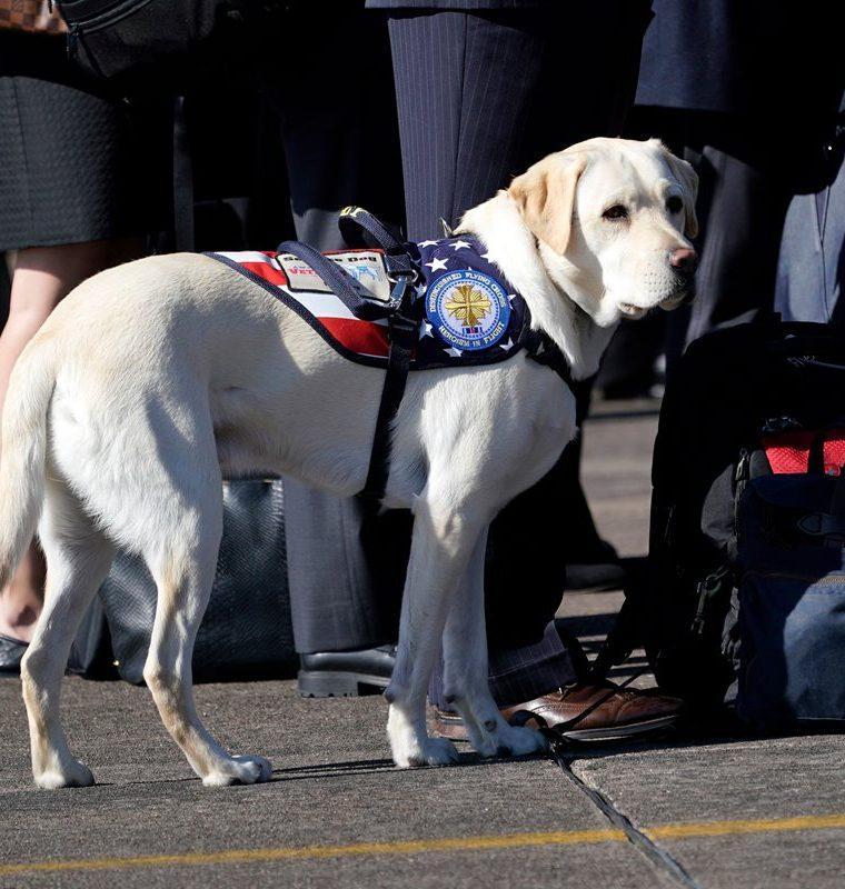 Sully, el perro labrador de Bush, en pleno servicio en Houston. (Foto Prensa Libre: AFP)