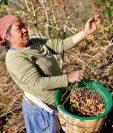 productores de café dejarían de aplicar fungicidas para el combate de la roya por falta de apoyo financiero. Este año recibieron Q10 millones.