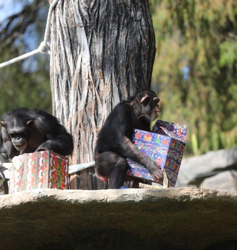 Diferentes especies de animales que conviven en el Zoológico La Aurora abrieron sus regalos ante cientos de visitantes. (Foto Prensa Libre: Érick Ávila)
