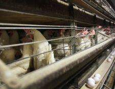 A partir del 2022, las gallinas ponedoras en California deben ser criadas en completa libertad. (Foto: Hemeroteca PL)