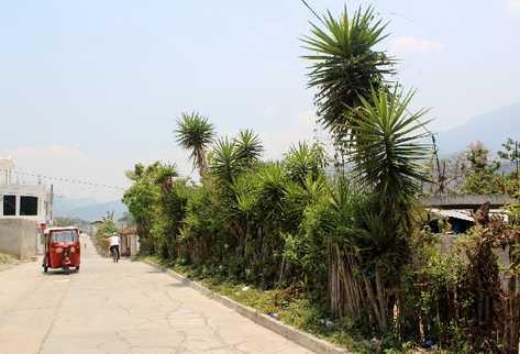 El izote se usa normalmente para delimitar terrenos en el área rural, y cuando florece,  adorna los caminos.