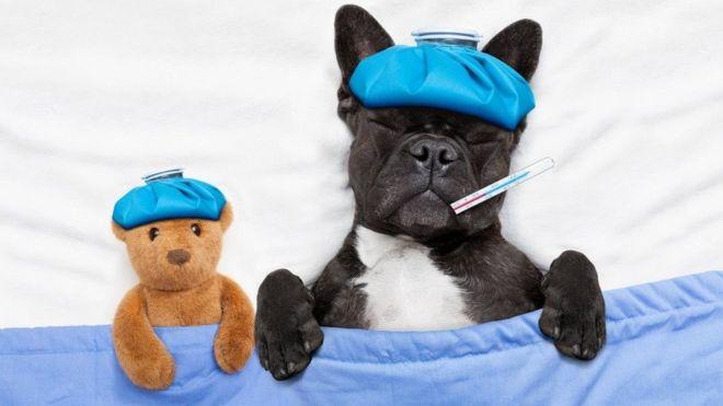 ¿Tiene fiebre tu perro? ¿Lo encuentras decaído? Puede que tenga lo mismo que tú. (Foto, Thinkstock)